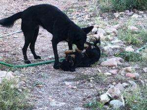 Diva jouant avec le chien des wwoofers